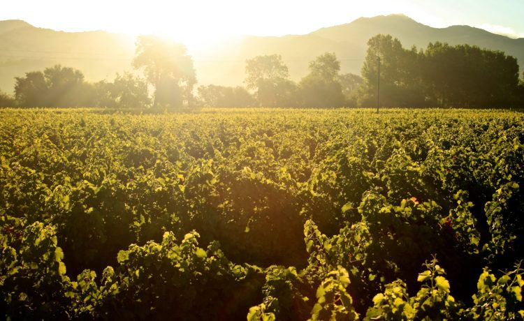 Gamble Vineyard Sauvignon Blanc at sunrise